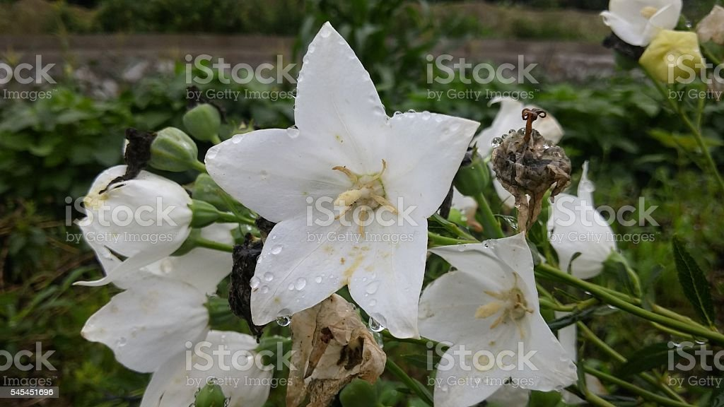 white Platycodon grandiflorus stock photo