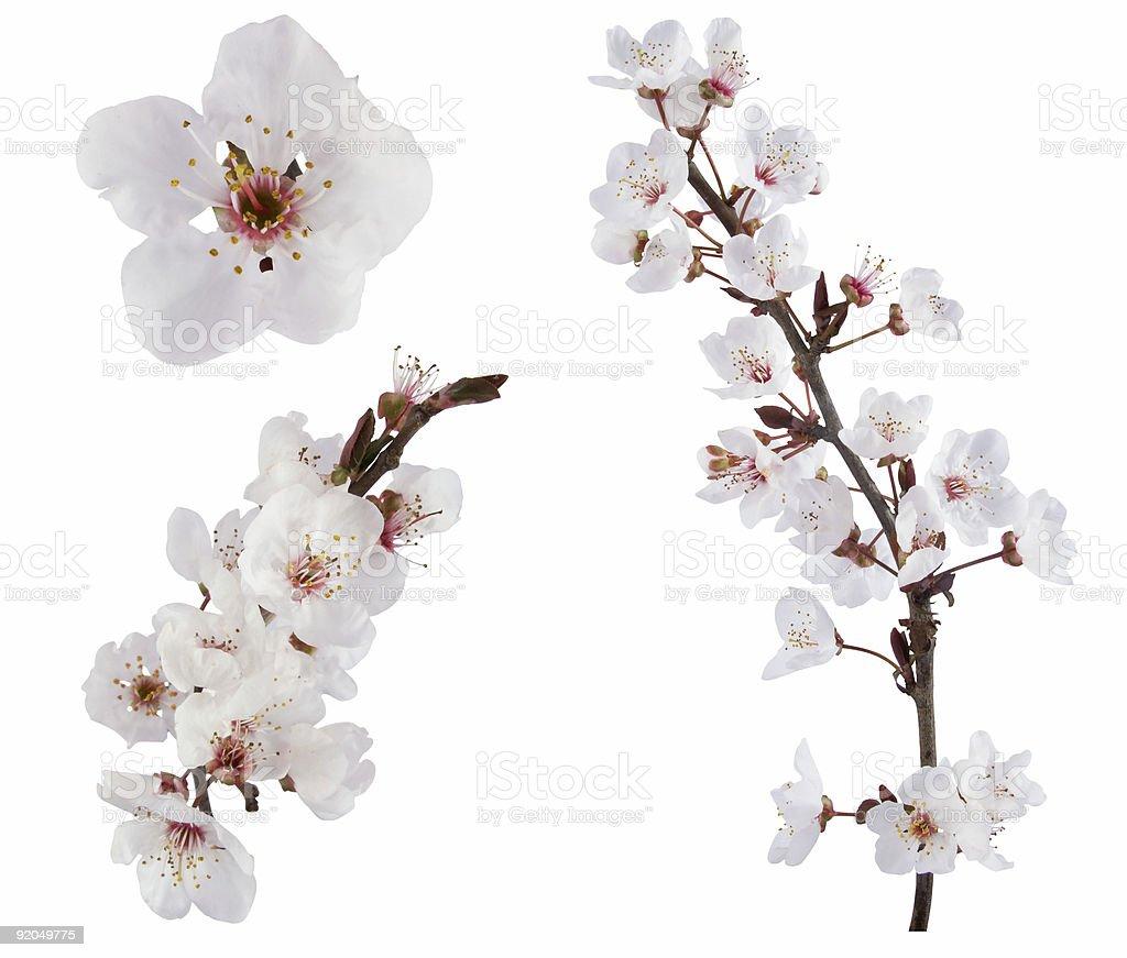White plum tree flower design elements on white background stock photo
