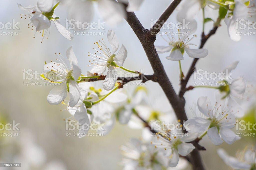 White Plum tree spring blossom in park stock photo