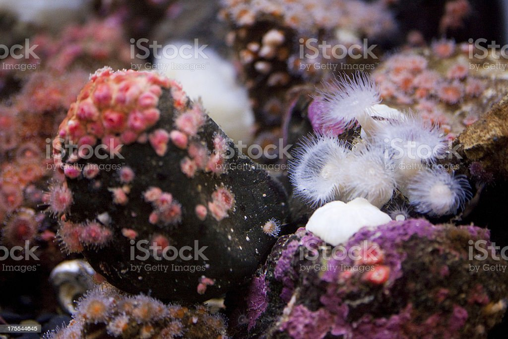 White Plumed Sea Anemone royalty-free stock photo