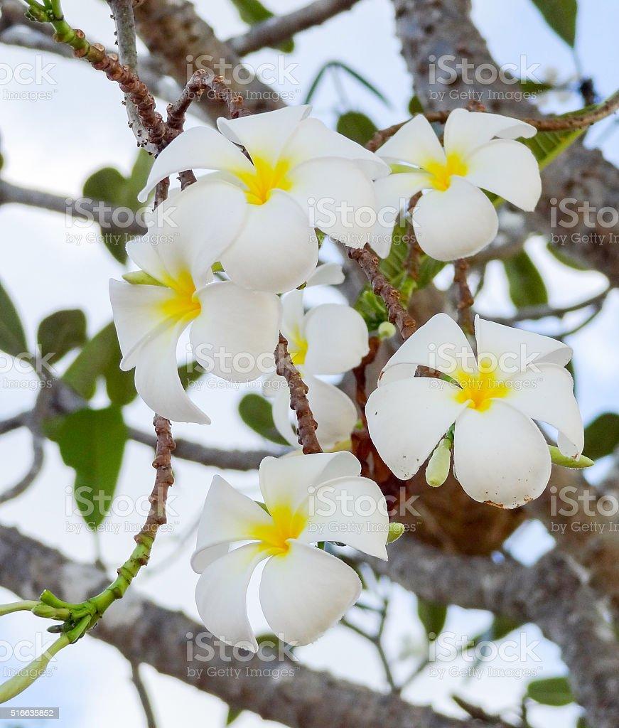 white Plumeria blossoms stock photo
