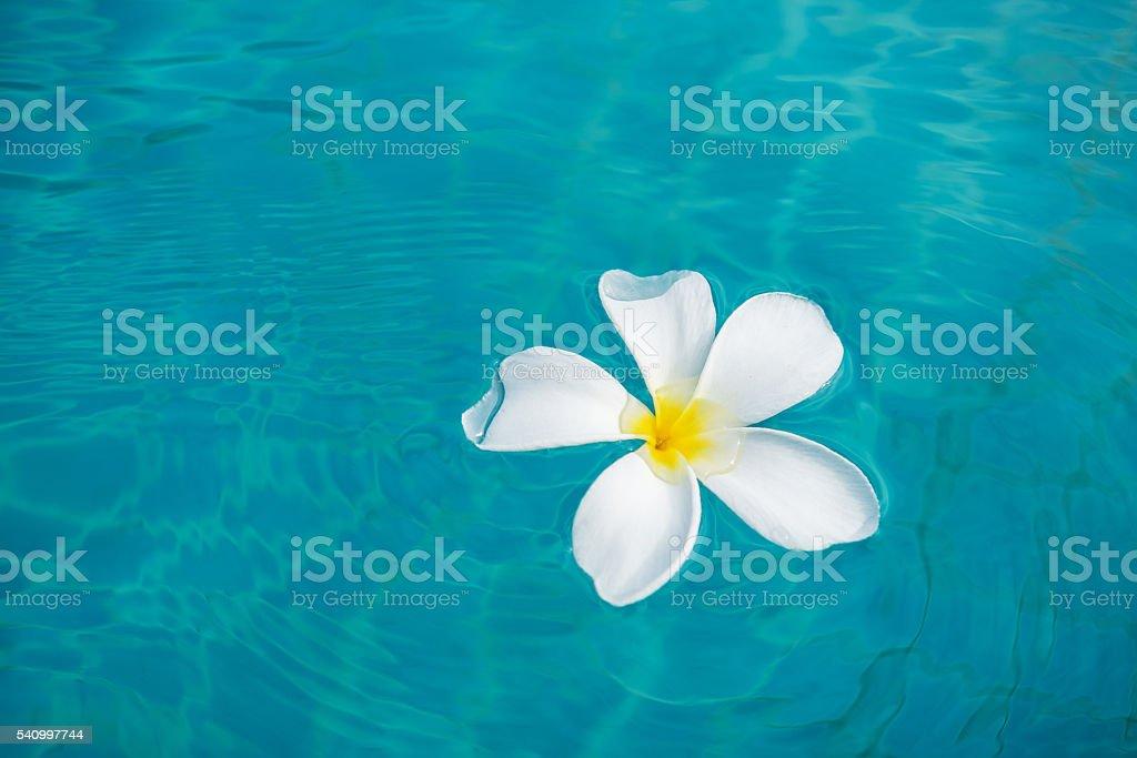 White Plumeria flower floating on blue water stock photo