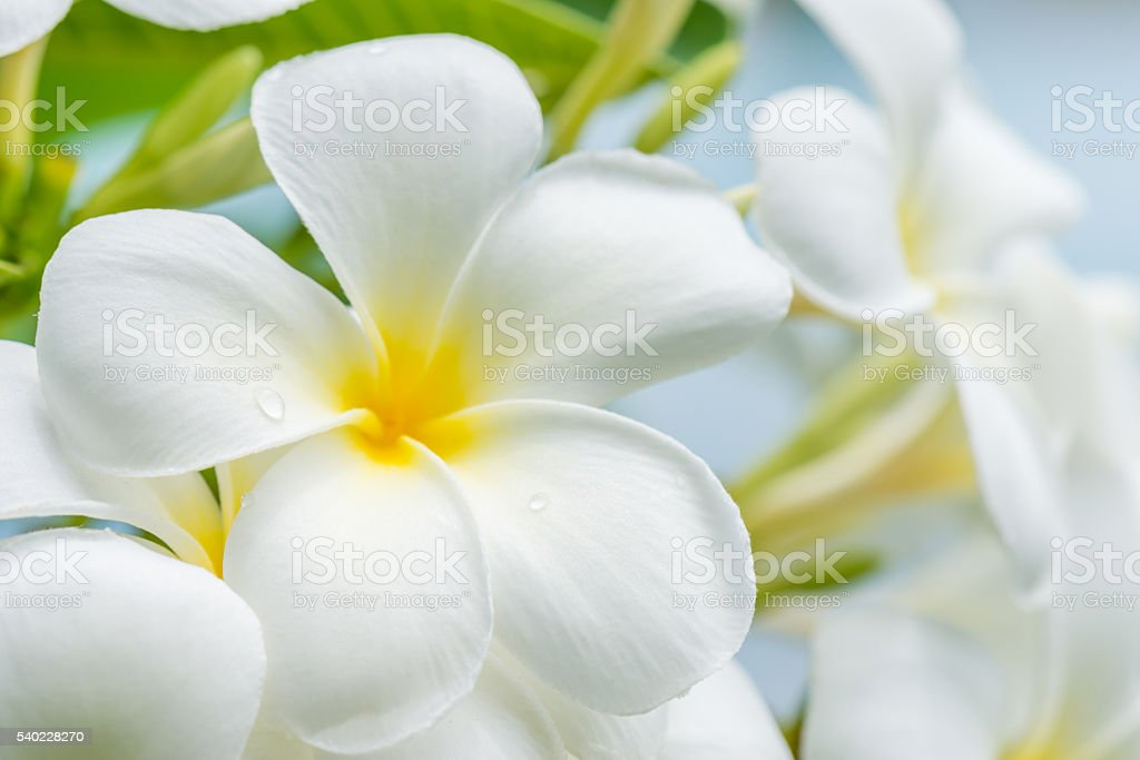 white plumeria flower with nature background stock photo
