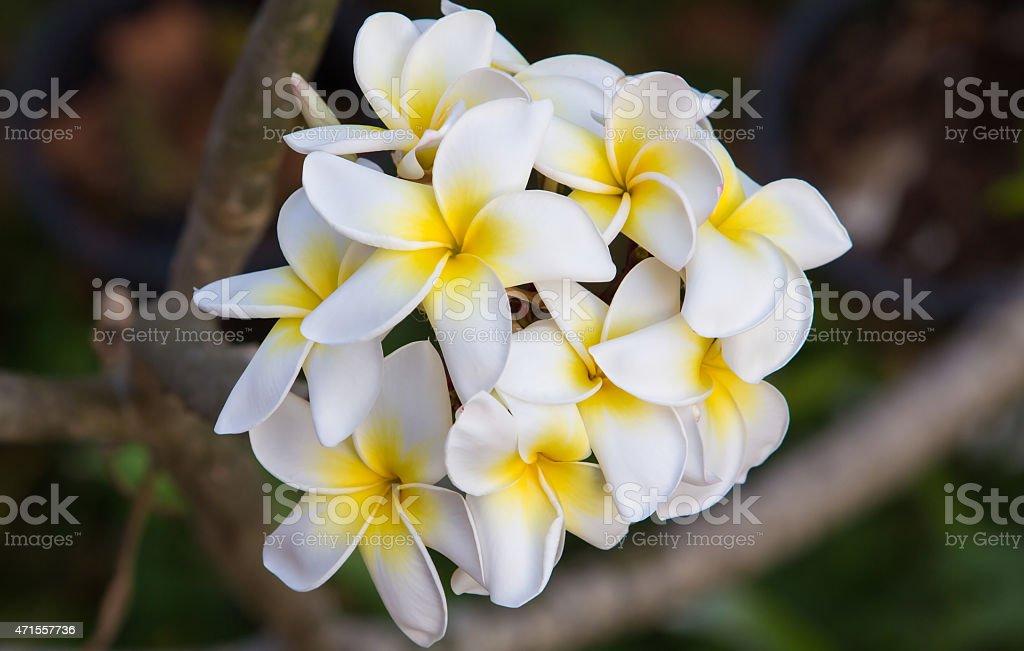 White plumeria flowers on a tree royalty-free stock photo