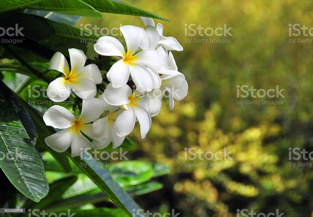 White plumeria flowers (Caribbean, Anguilla) stock photo