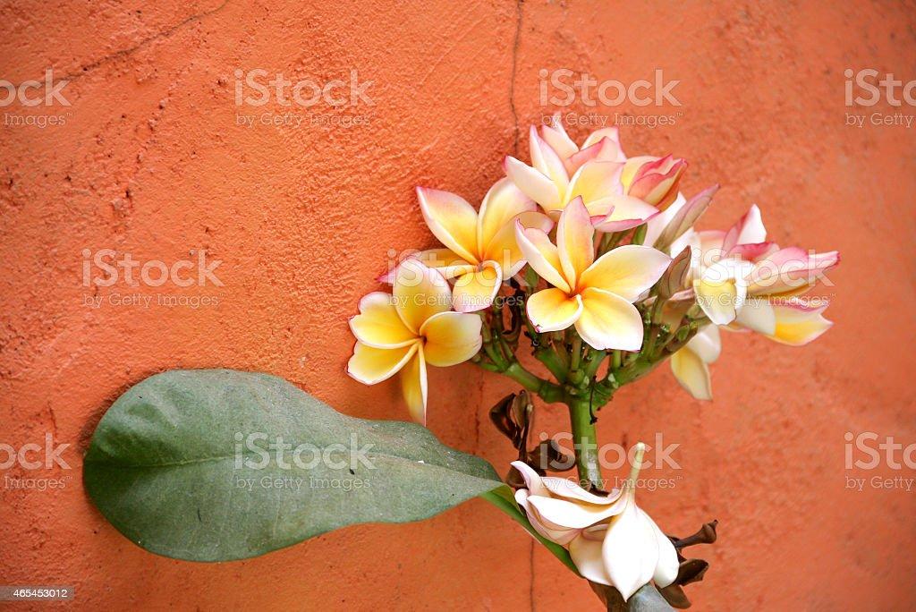 White Plumeria lean on the wall royalty-free stock photo