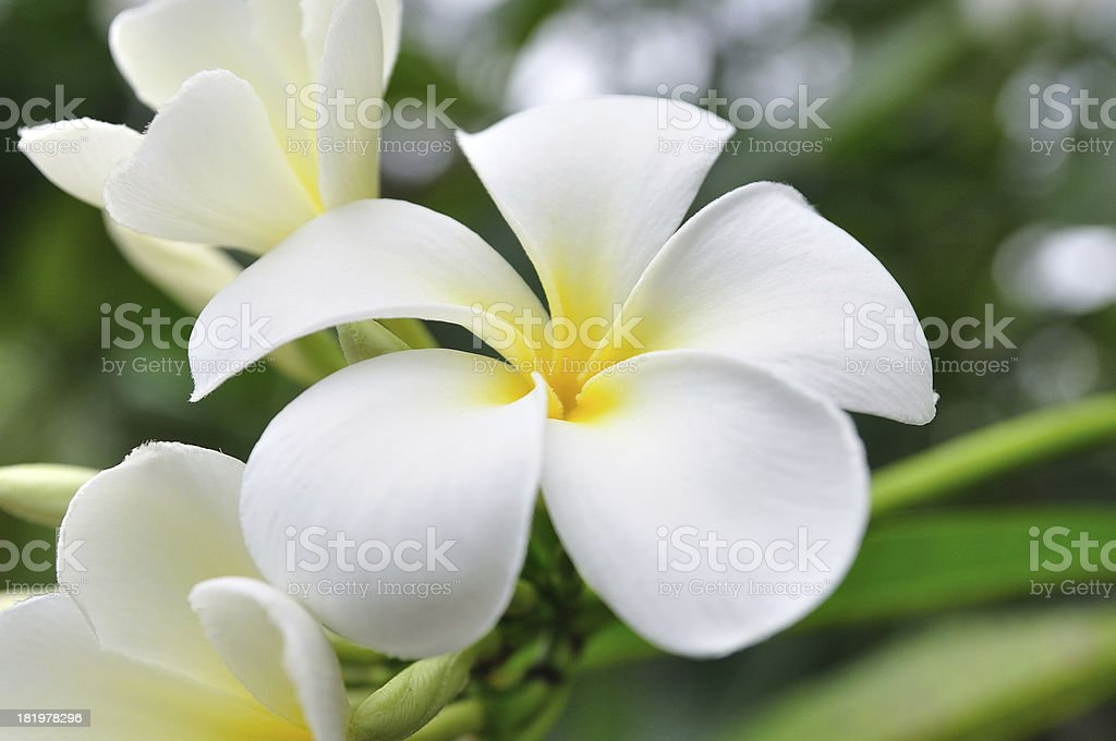 White Plumerias for background stock photo
