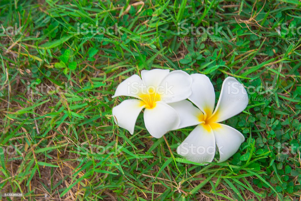 White plumerias on green grass stock photo