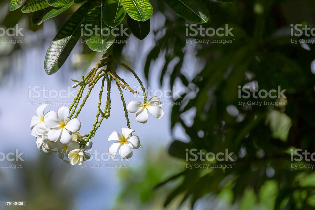 White Plumerias on tree with tropical background stock photo