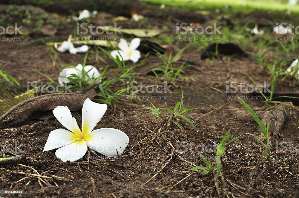 white plumerias stock photo