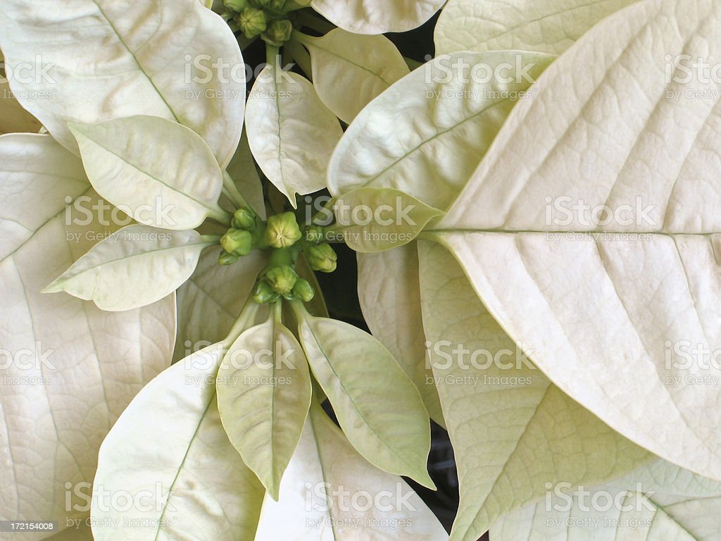 White Poinsetta Closeup royalty-free stock photo
