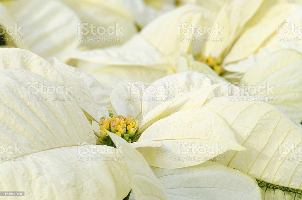 White Poinsettia Closeup royalty-free stock photo
