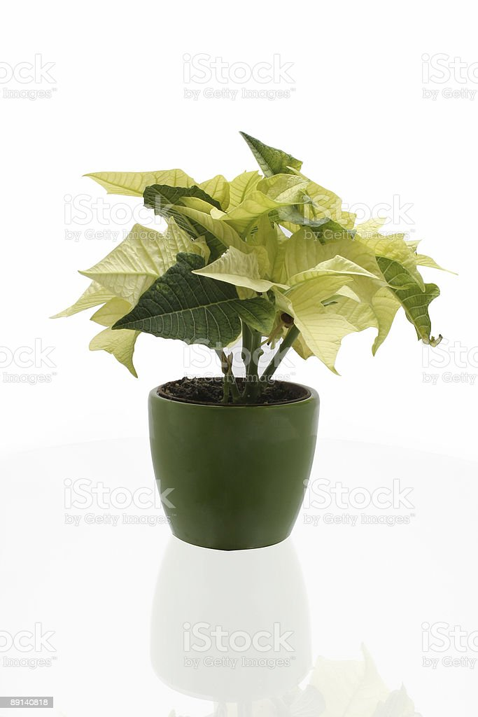 White poinsettia in a green pot royalty-free stock photo
