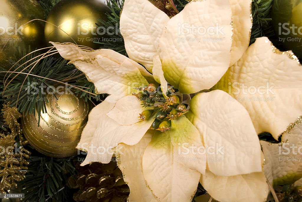 White poinsettia royalty-free stock photo