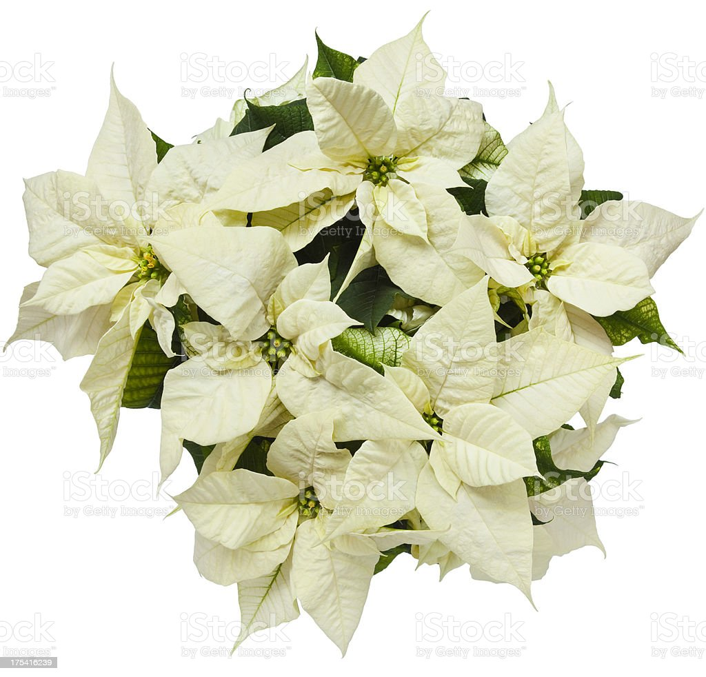 White Poinsettia stock photo