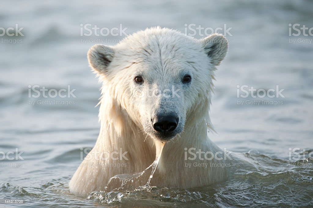 White polar bear coming out of the ocean royalty-free stock photo