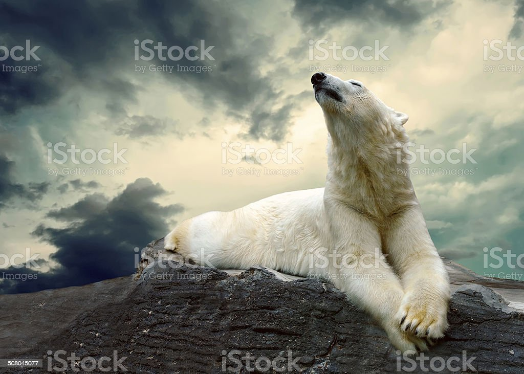 White Polar Bear Hunter on the Ice in water drops. stock photo