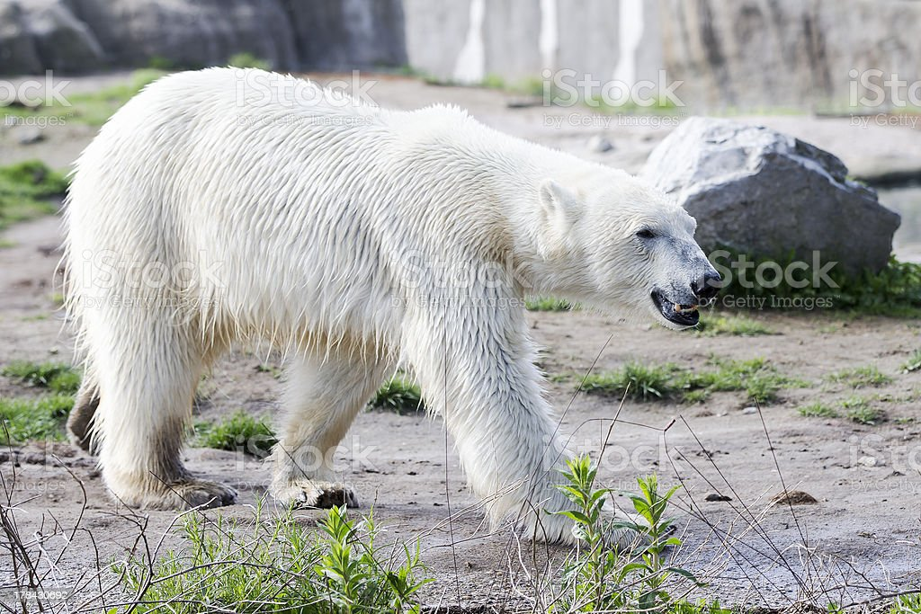 White polar in snowless environment stock photo