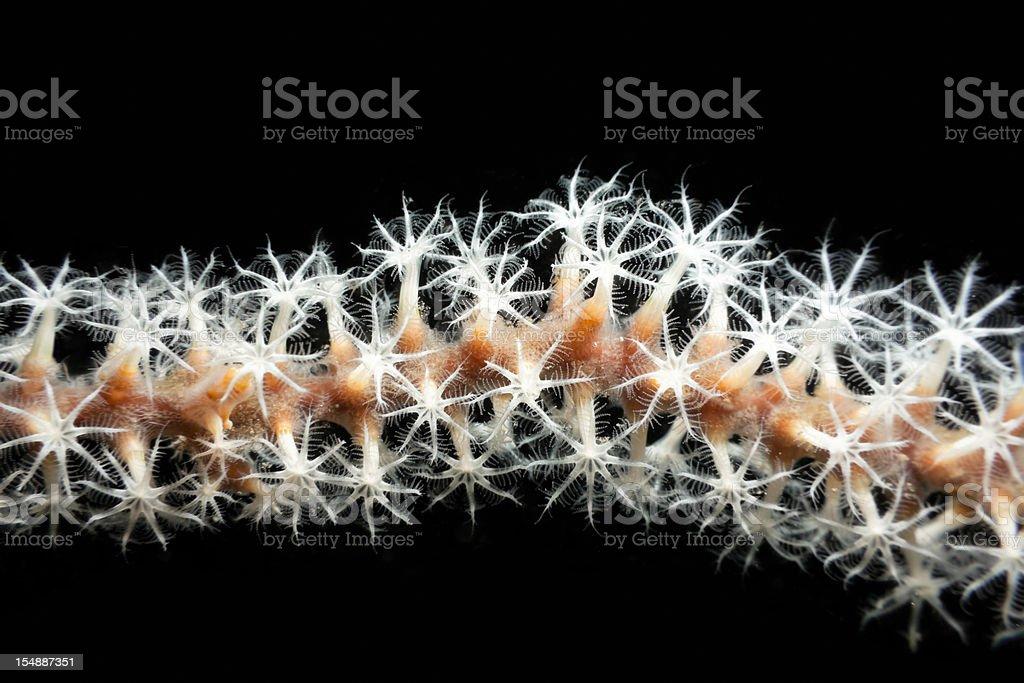 White Polyps of Whip Coral Beauty, Bima Bay, Sumbawa, Indonesia stock photo