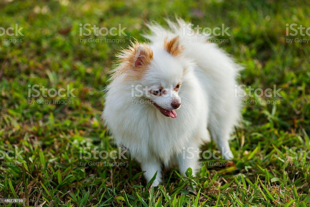White pomeranian royalty-free stock photo
