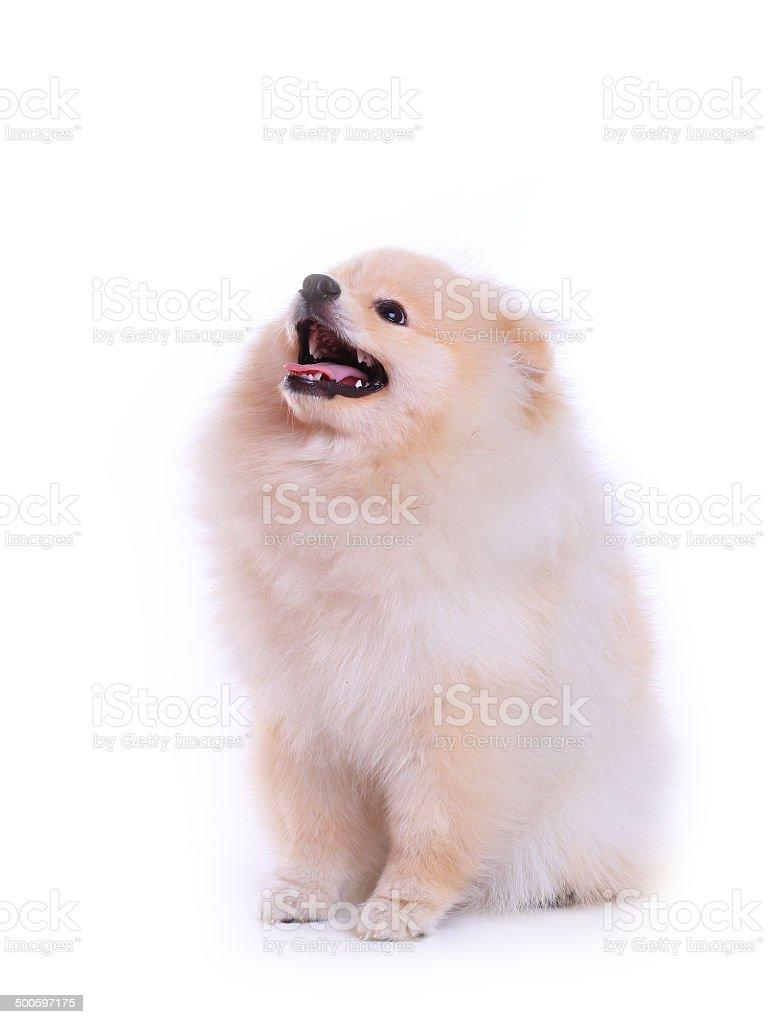 white pomeranian puppy dog, cute pet royalty-free stock photo