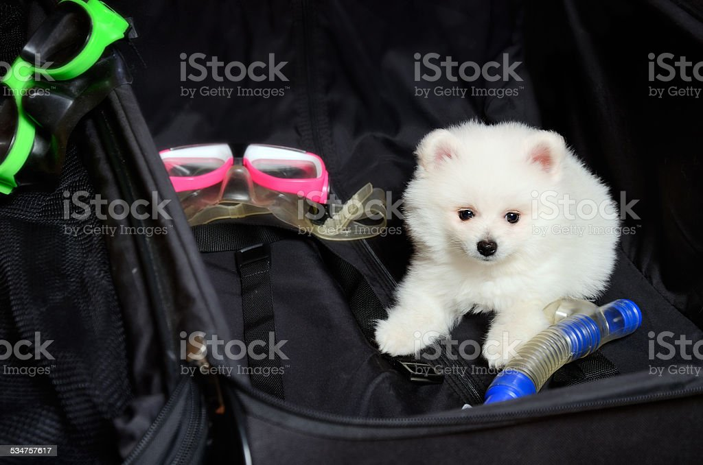 white Pomeranian puppy lying in a suitcase stock photo
