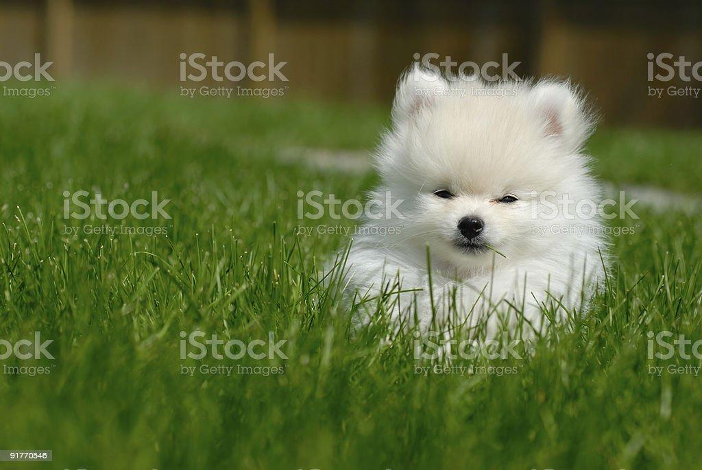 White Pomeranian Puppy on Lawn stock photo