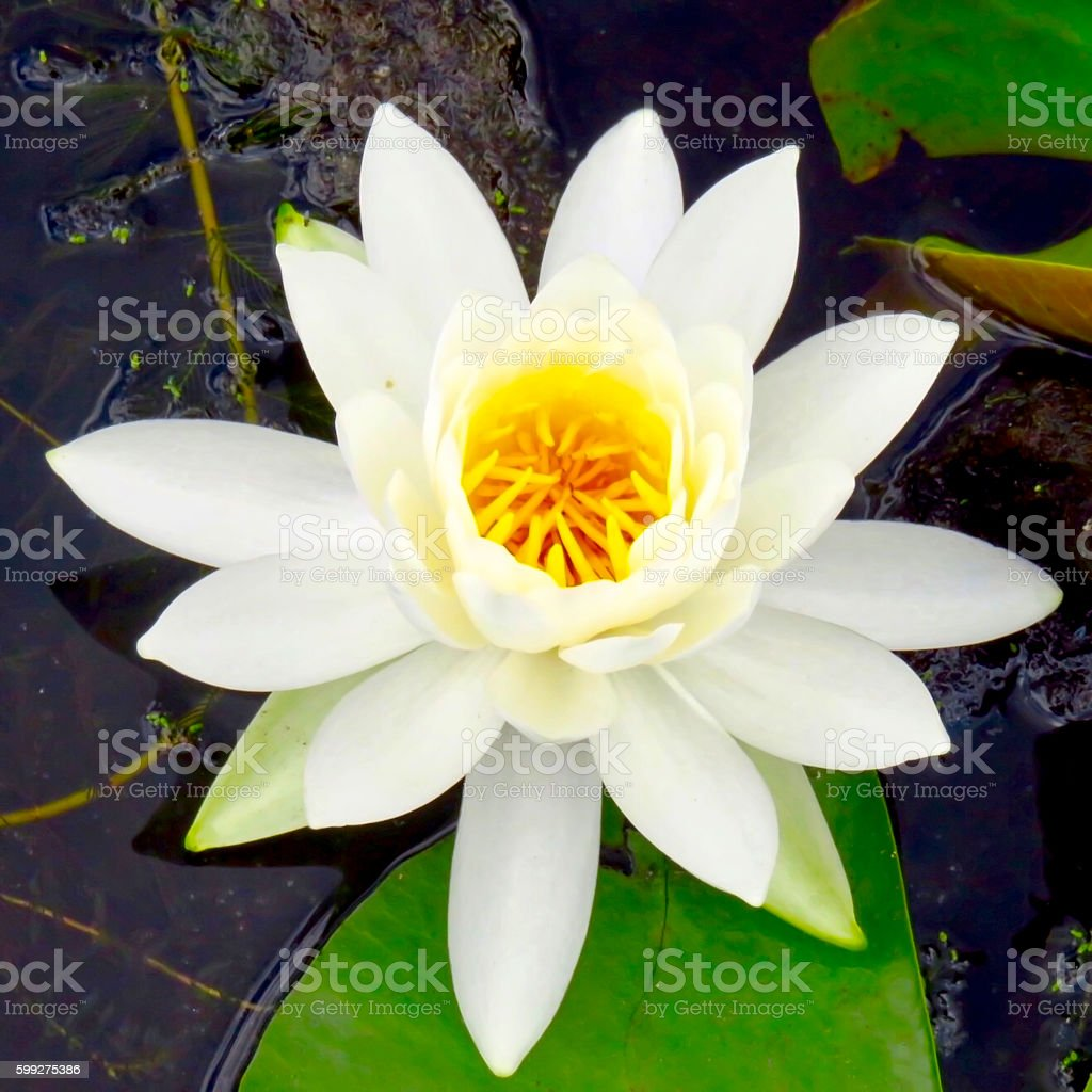 White Pond Lily stock photo