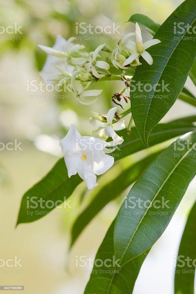white pong pong flower stock photo
