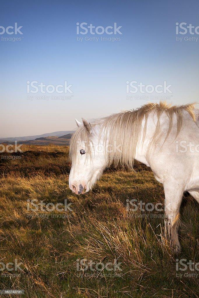 white pony chewing grass stock photo