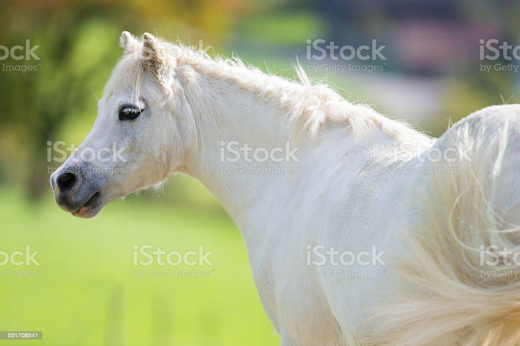 White pony close up on green background, Welsh pony. stock photo