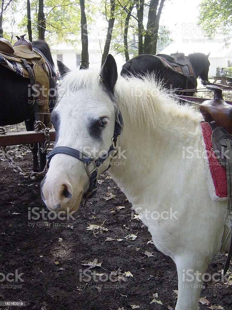 White Pony royalty-free stock photo