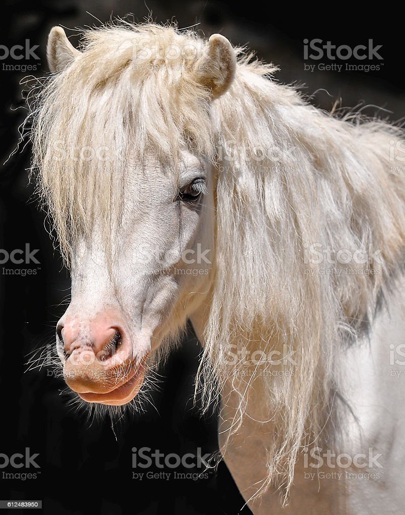 White pony stock photo