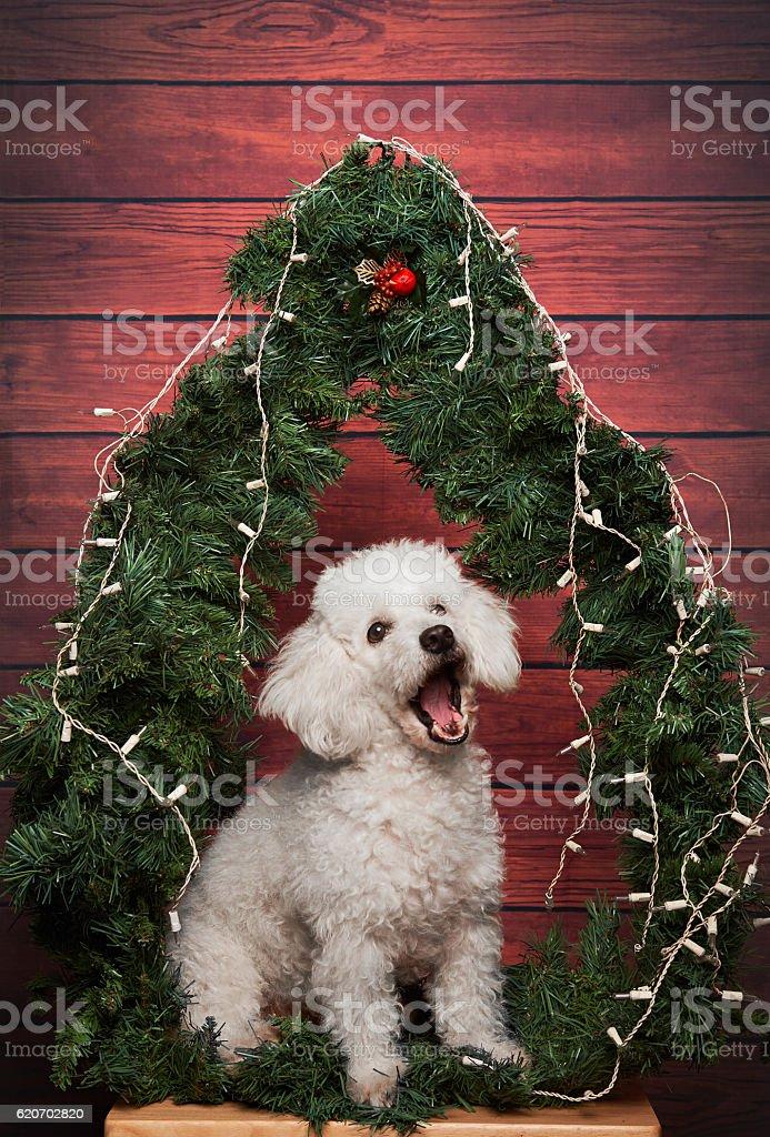 White poodle burke on christmas background stock photo