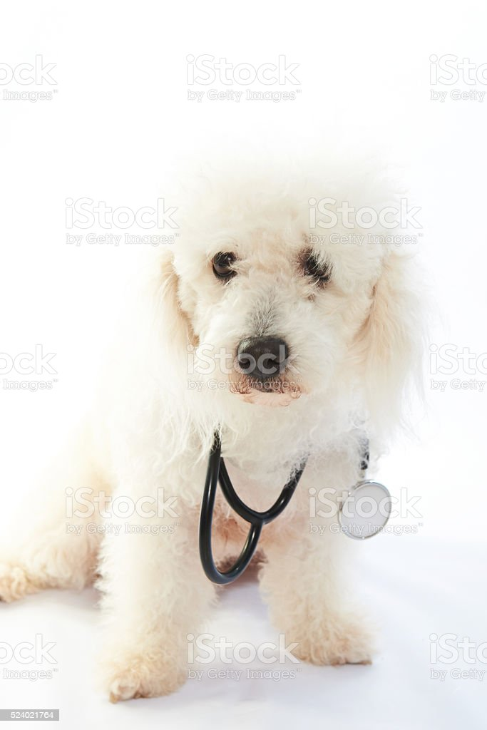 white poodle with stethoscope stock photo