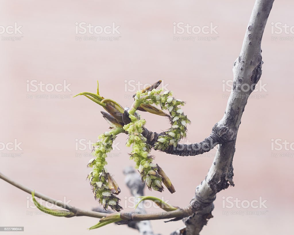White poplar catkins on branch in spring with bokeh background stock photo