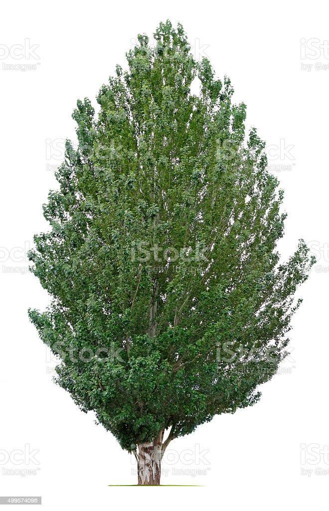 White Poplar Tree stock photo
