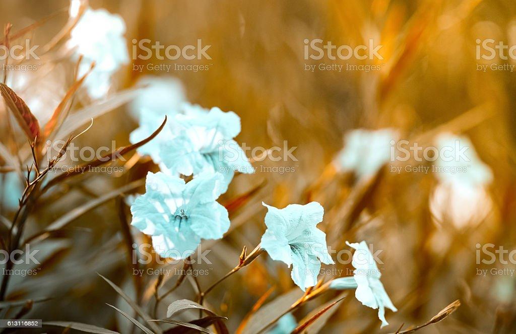 white popping pod bush in garden stock photo