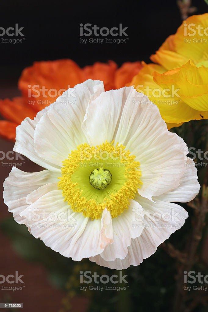 White Poppy royalty-free stock photo