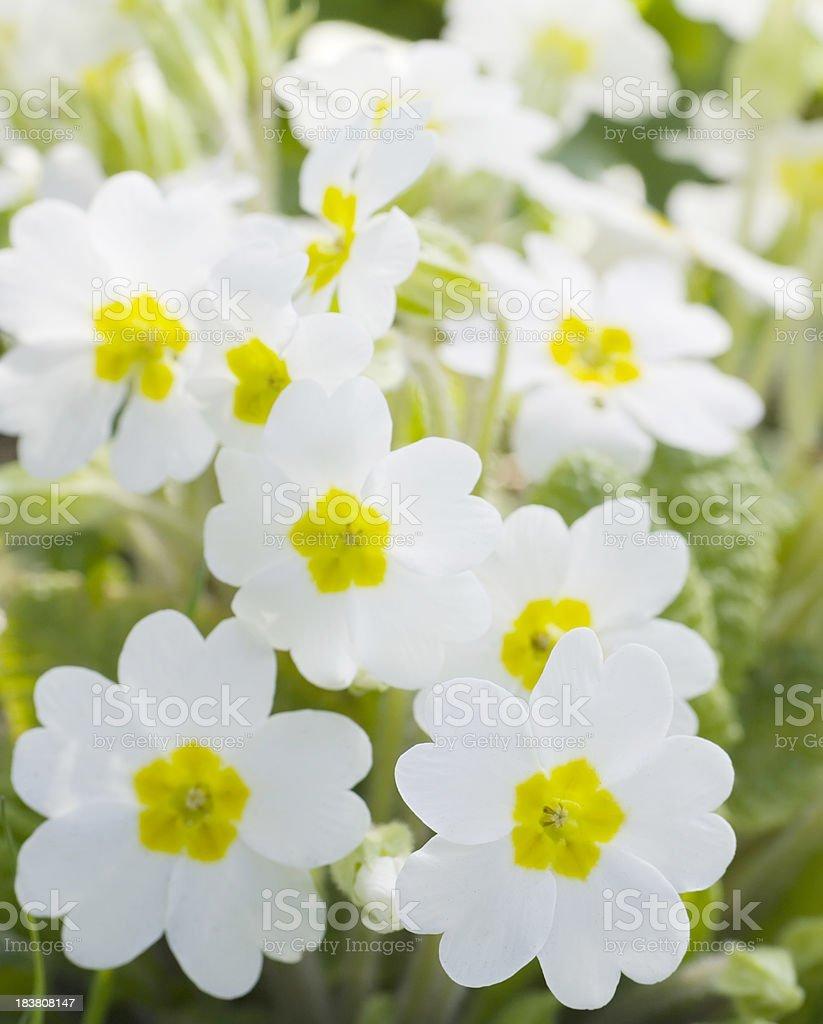 White Primrose (Primula vulgaris) royalty-free stock photo
