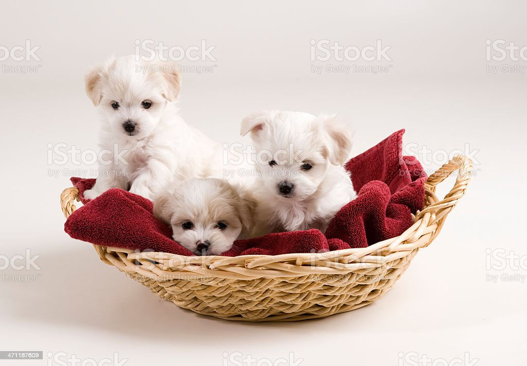 white puppies in a basket stock photo