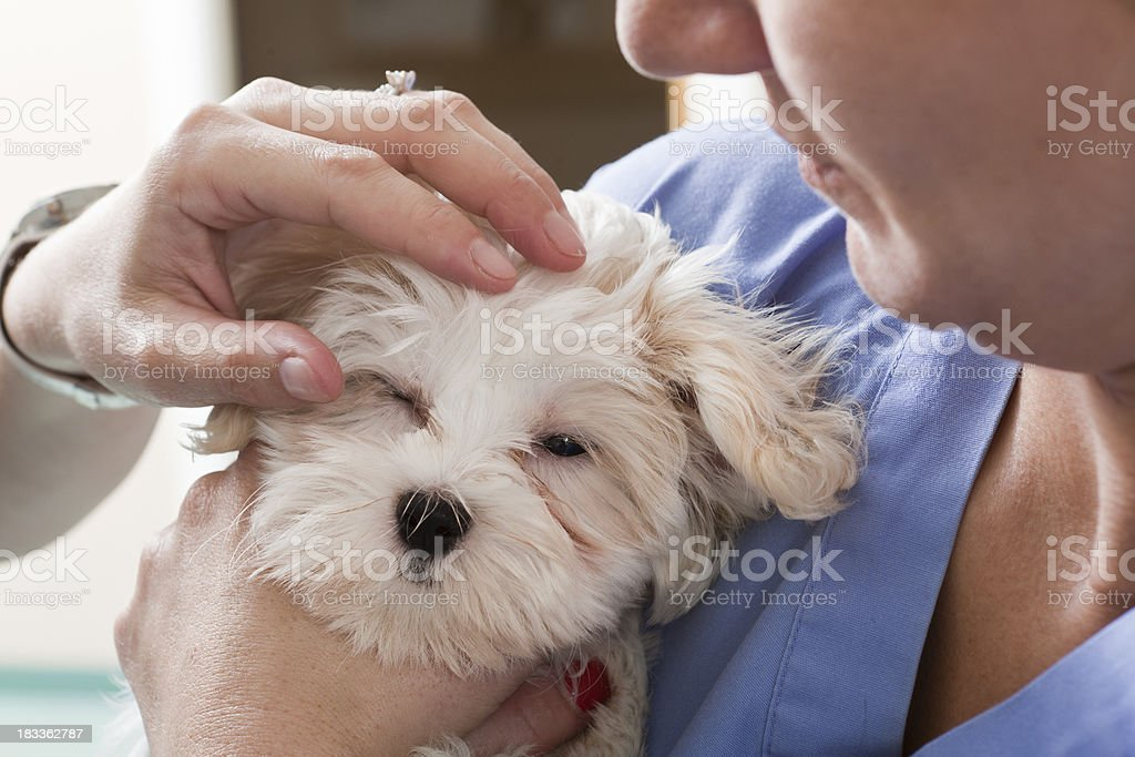 White Puppy Held by Veterinary Technician in Animal Hospital royalty-free stock photo