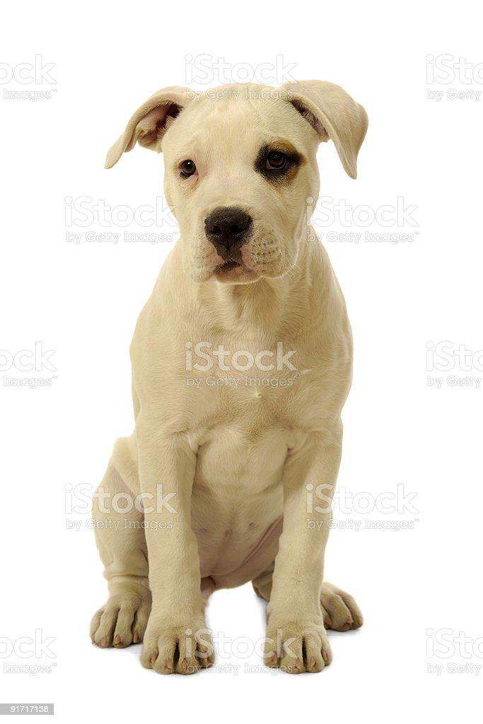 White puppy royalty-free stock photo
