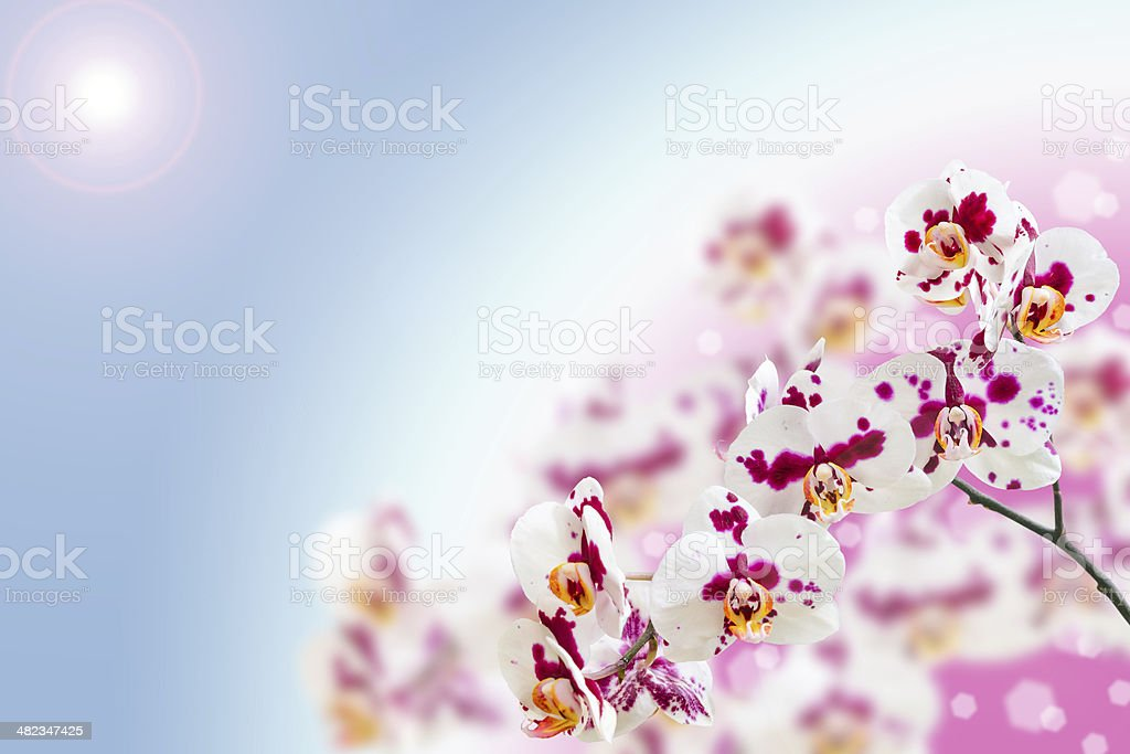 White purple spotted orchid flowers on gradient stock photo