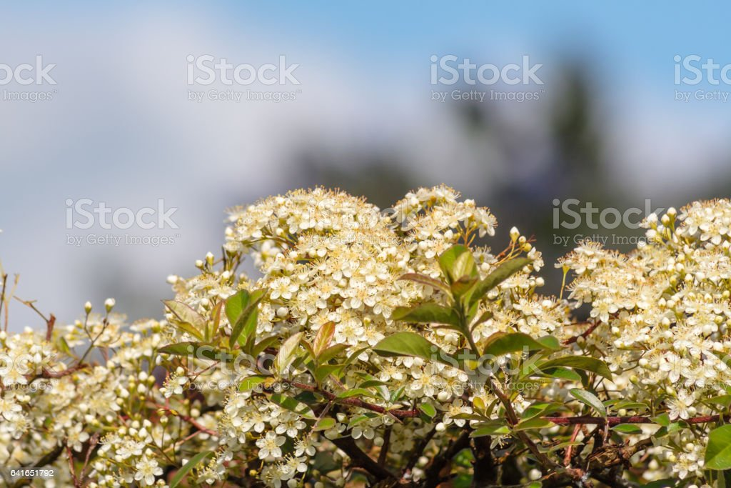 White pyracantha blossom against a blue sky. stock photo