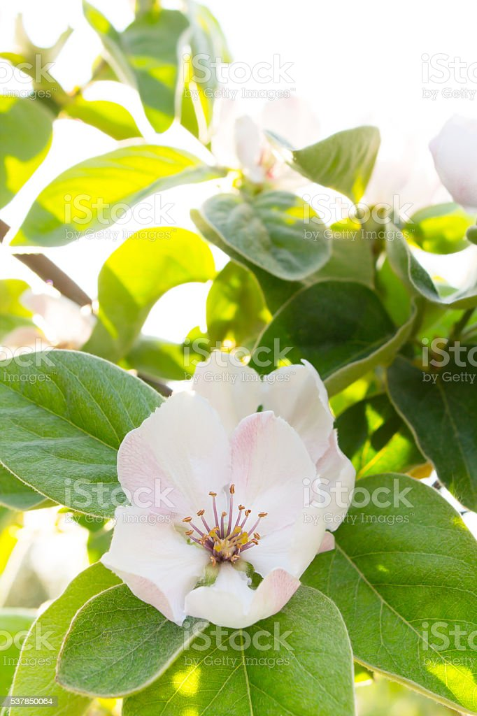 White quince flower blooming around eaves in sunlight stock photo