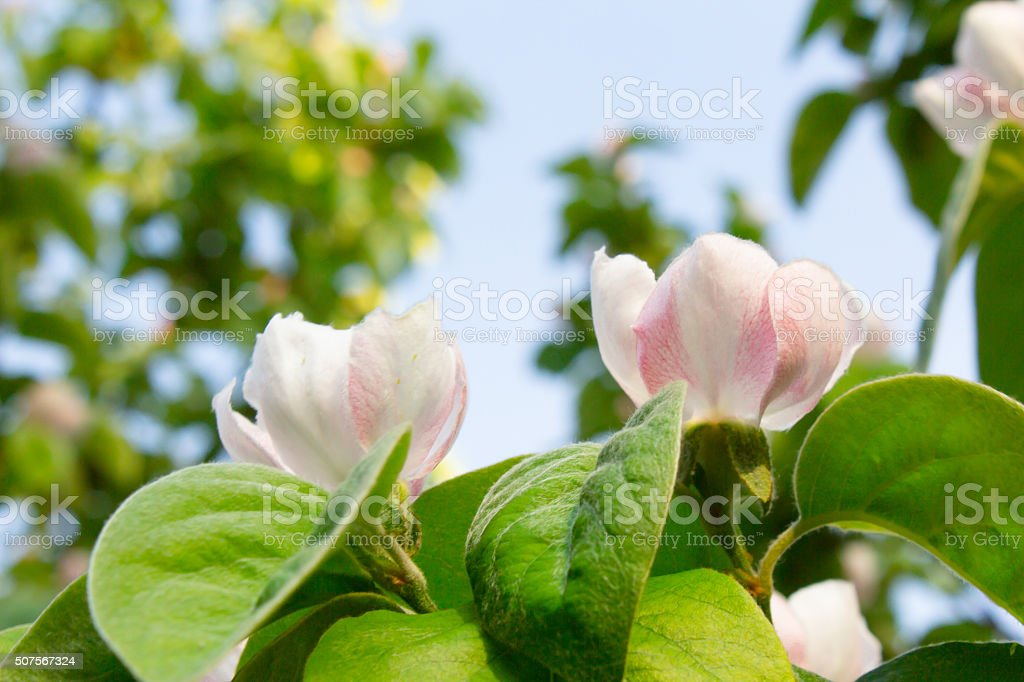 White quince flower blooming around leaves stock photo