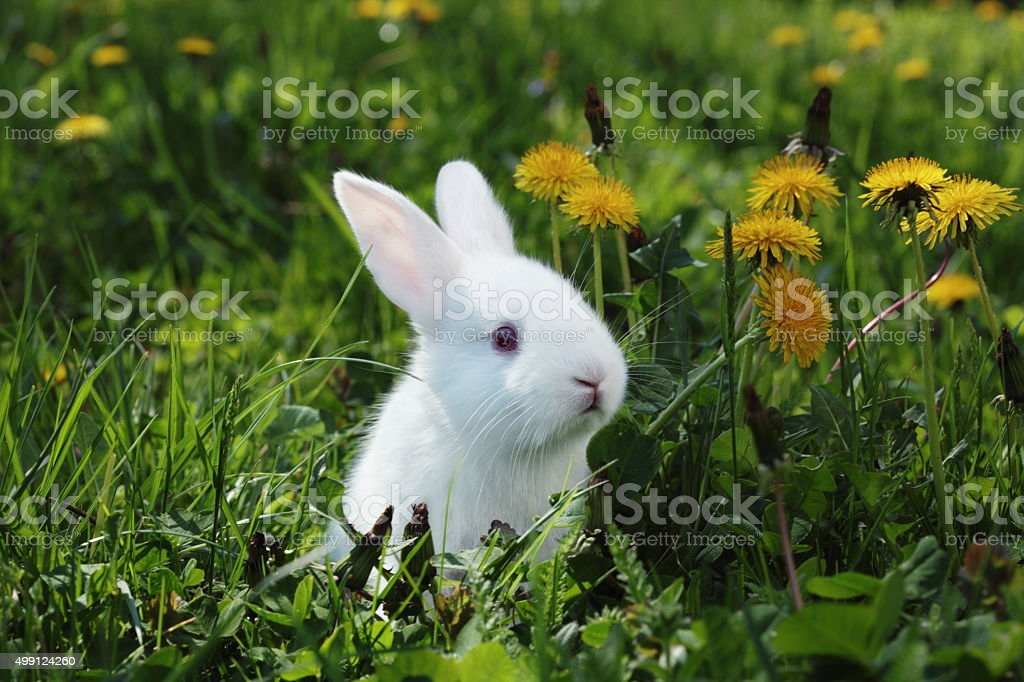 White rabbit close-up stock photo