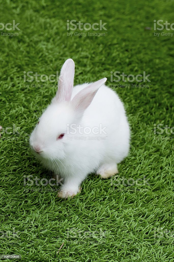 white rabbit in grass stock photo