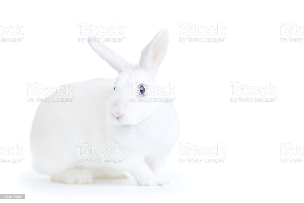 white rabbit isolated on white looking at the camera stock photo